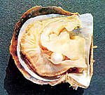 Perlmuschel