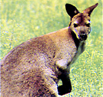 Irma-Wallaby