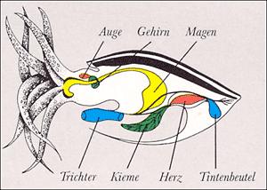 Tintenfisch Gehirn